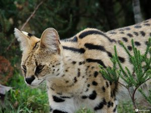 A Wild Serval Appeared by Azhar Khan. Photograph of a wild serval.